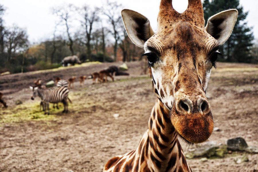 Fauna de la sabana africana