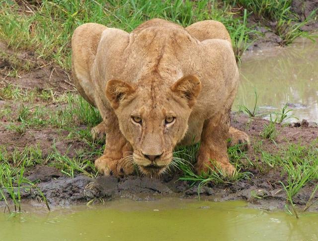 Una leonesa fotografiada en un safari