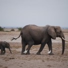 Elefante bebe en parque Amboseli